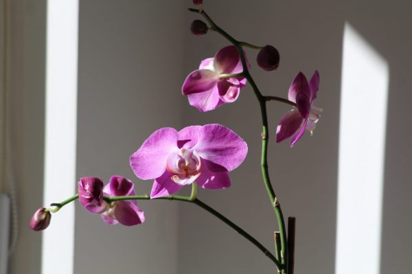 Phalaenopsis_CarmelitaRodrigues
